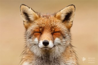 zen-foxes-roeselien-raimond-1__880